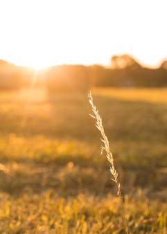 Primer plano de especias de trigo con hermosa puesta de sol