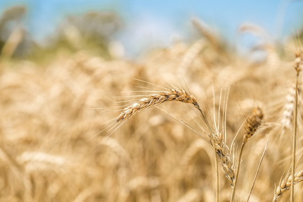 Primer plano de espigas de trigo en el campo