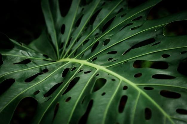 Primer plano de la exótica hoja de filodendro