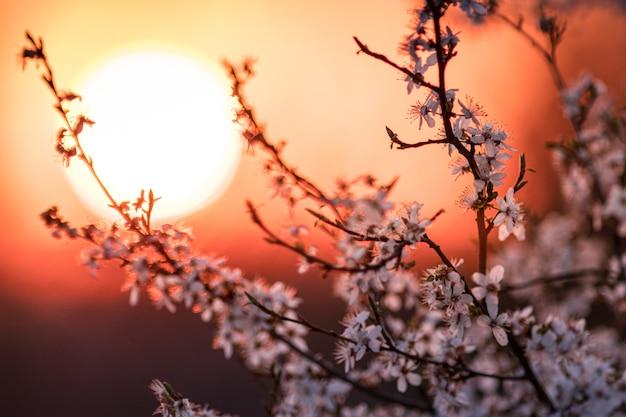 Primer plano de una flor de albaricoque con la hermosa puesta de sol en la noche