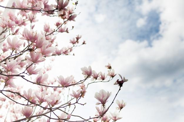 Primer plano de la flor del árbol de magnolia con fondo borroso y sol cálido