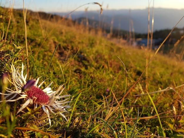 Primer plano de una flor en el campo durante la puesta de sol