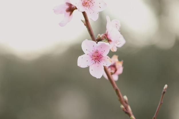 Primer plano de una flor de cerezo bajo la luz del sol en un jardín.