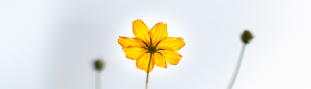 Primer plano de la flor del cosmos de color amarillo-naranja sobre fondo gereen borrosa.