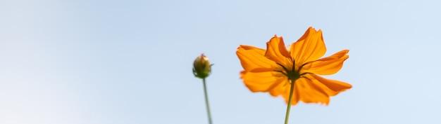 Primer plano de la flor del cosmos naranja con cielo azul como fondo.