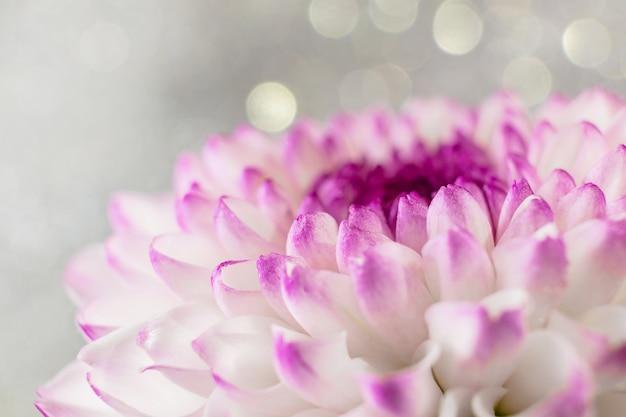 Primer plano de flor de crisantemo rosa púrpura sobre un fondo claro