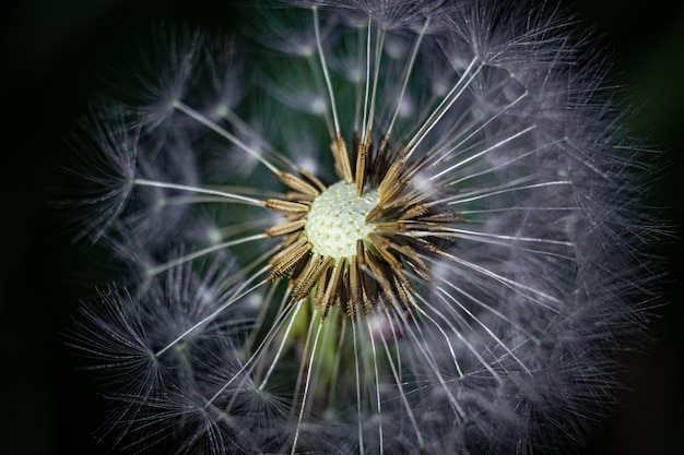 Primer plano de una flor de diente de león en el jardín