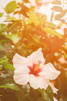 Primer plano de flor de hibisco en planta