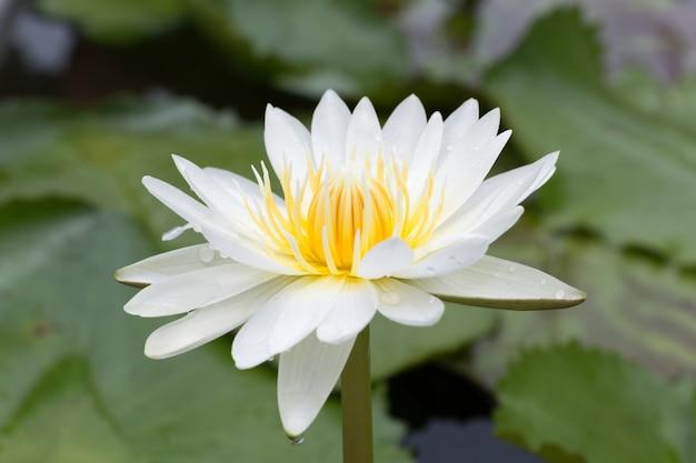 Primer plano de flor de loto, hermosa flor de loto borrosa o desenfoque de enfoque suave