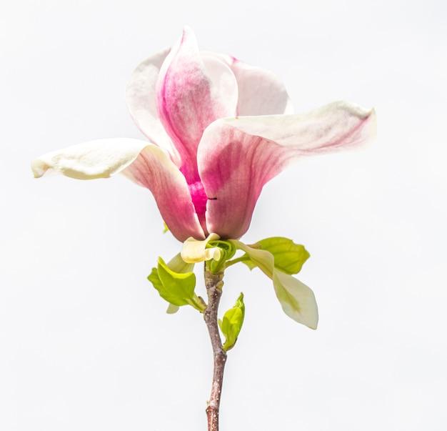 Primer plano de flor de magnolia