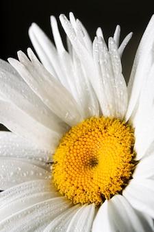 Primer plano, de, flor de la margarita