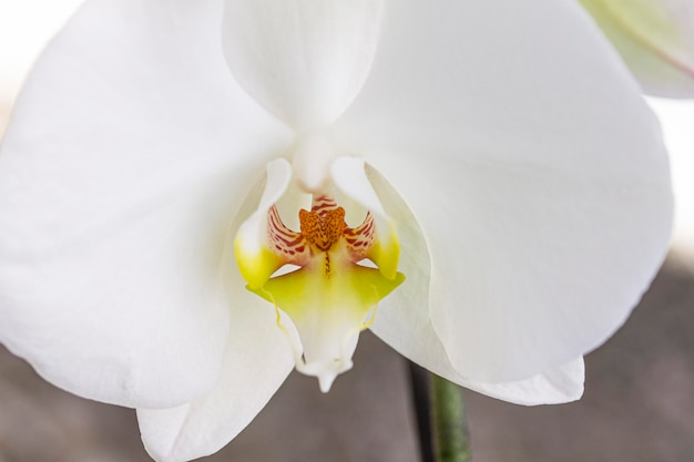 Primer plano de la flor de la orquídea blanca