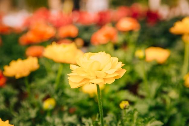 Primer plano de flor de ranunculus amarillo en el jardín