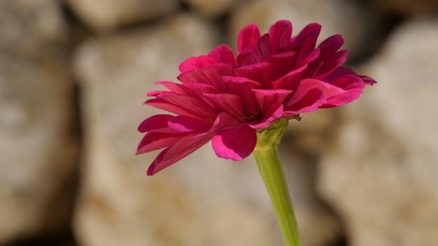 Primer plano de una flor rosa zinnia en un jardín.
