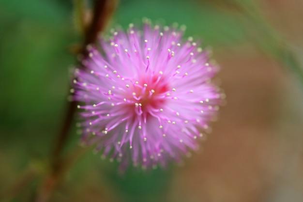 Primer plano de una flor silvestre floreciente rosa esponjosa con enfoque selectivo y fondo borroso