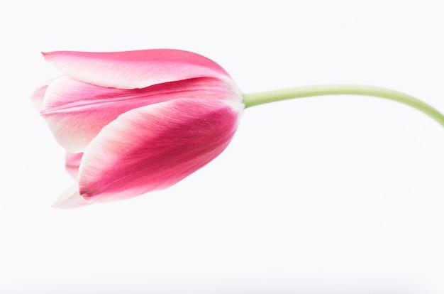 Primer plano de una flor de tulipán rosa aislado sobre fondo blanco.