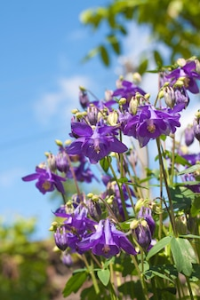 Primer plano de flores azules aquilegia