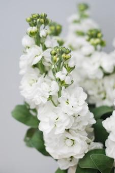 Primer plano de flores blancas matthiola