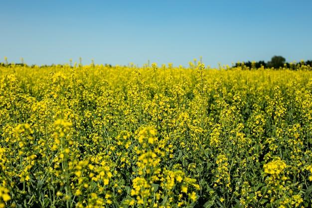 Primer plano de flores de colza amarilla contra el cielo azul, cultivo de semillas oleaginosas, fuente de mantequilla y néctar para la apicultura.