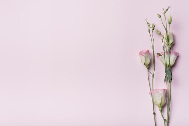 Primer plano de flores de eustoma con brotes en fondo rosa