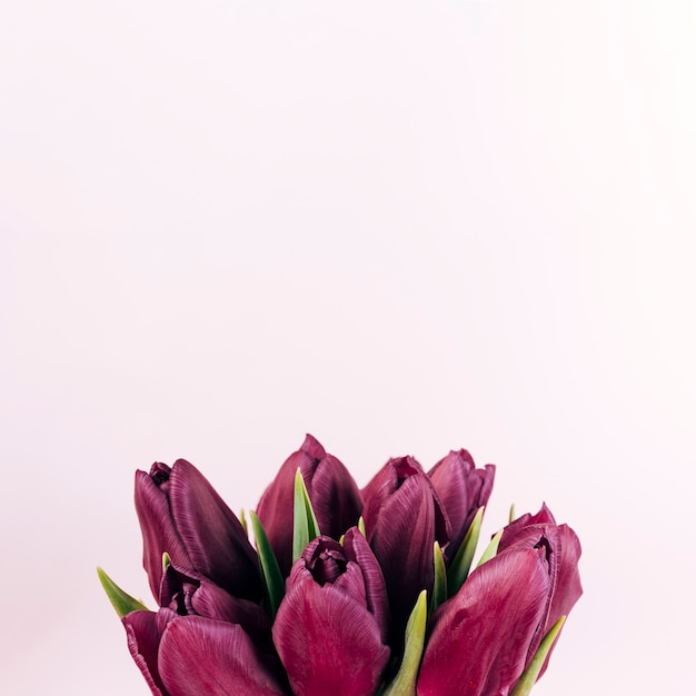 Primer plano de flores frescas de tulipán rojo sobre fondo coloreado