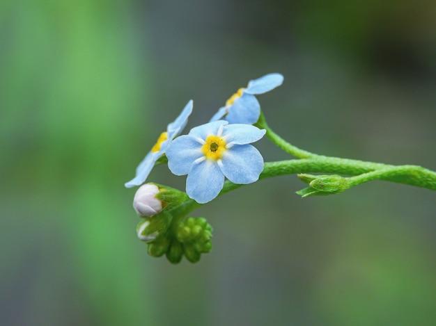 Primer plano de flores nomeolvides alpinas con naturaleza verde