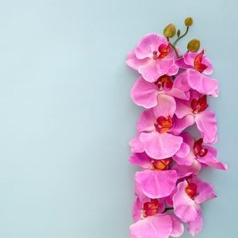 Primer plano de flores de orquídeas rosadas sobre fondo azul