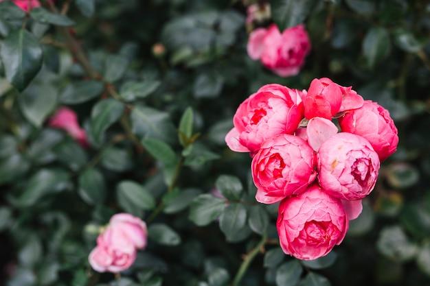 Primer plano de flores de peonía rosa