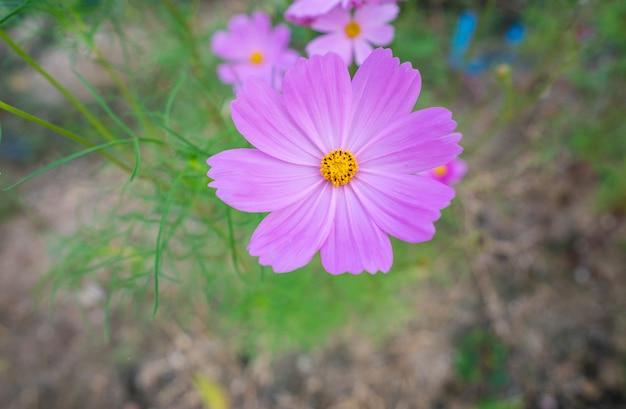 Primer plano de flores púrpuras starburst en el jardín