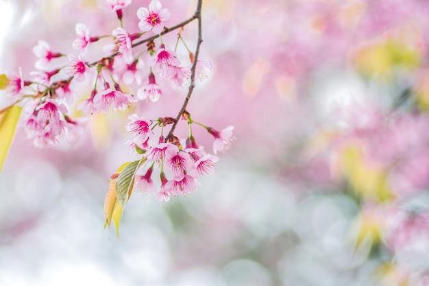 Primer plano de flores rosadas de cereza silvestre del himalaya (prunus cerasoides) con fondo borroso bokeh, chiang mai, tailandia
