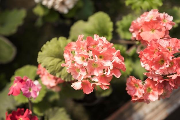 Primer plano de flores rosadas que crecen en el jardín