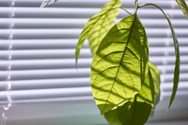 Primer plano de follaje de un joven árbol de aguacate en una ventana con persianas