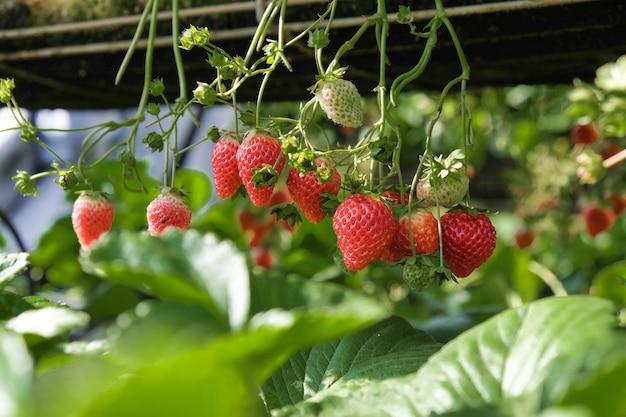 Primer plano de fresas colgando en invernadero