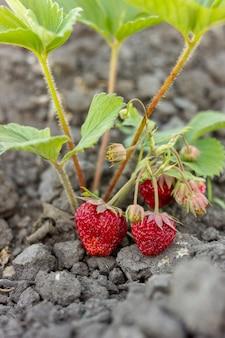 Primer plano de fresas dulces listas para ser recolectadas