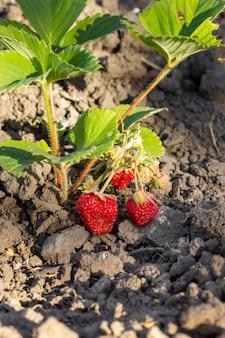 Primer plano de fresas orgánicas listas para ser recolectadas