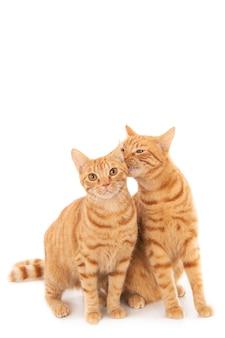 Primer plano de un gato jengibre lamiendo el otro aislado en un blanco