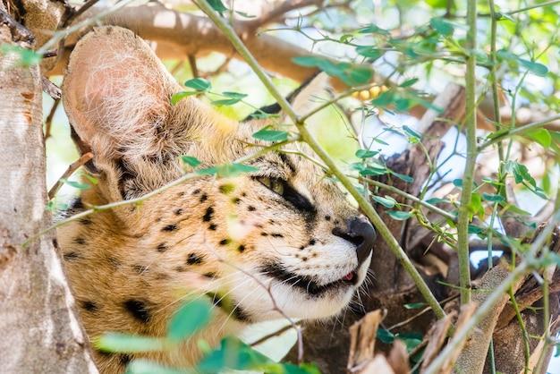 Primer plano de un gato montés en el árbol