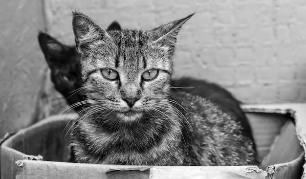 Primer plano de gatos tristes sin hogar en una caja. fotografía en blanco y negro.