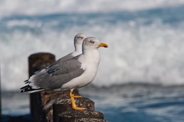 Primer plano de gaviotas argénteas europeas sentadas alrededor de las olas del océano