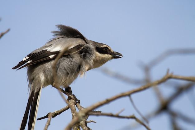Primer plano de gran actuación en `` the shrike '' gris posado en la rama de un árbol contra un cielo azul