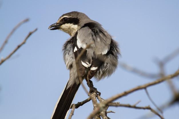 Primer plano de gran actuación en `` the shrike '' gris posado en la rama de un árbol