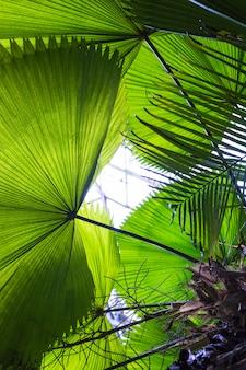 Primer plano de grandes hojas de palma en forma de abanico