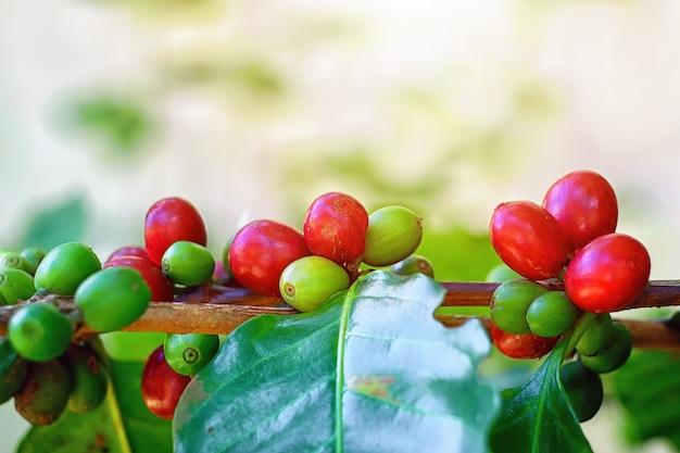 Primer plano de granos de café cereza en la rama de la planta de café antes de la cosecha