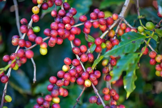Primer plano de granos de café maduros en el árbol