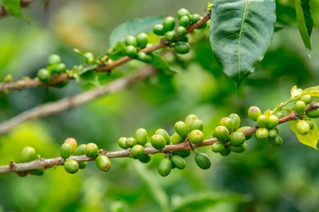 Primer plano de los granos de café en las ramas de los árboles en un campo bajo la luz del sol durante el día