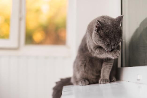 Primer plano de gris británico shorthair gato limpieza a sí mismo