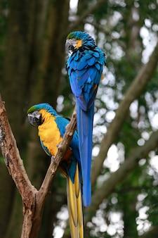 Primer plano de guacamayo azul y amarillo o arara caninde