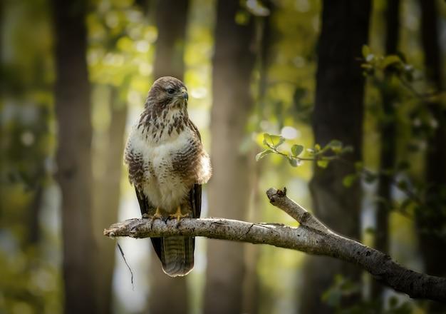 Primer plano de un halcón enojado de pie sobre la rama de un árbol en el bosque