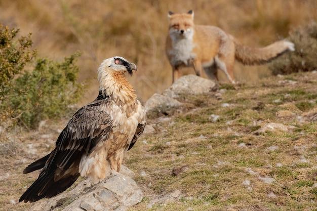 Primer plano de un halcón junto al zorro sobre el paisaje rocoso