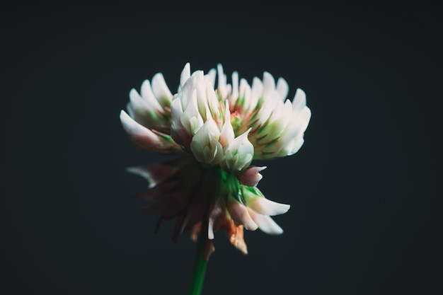 Primer plano de una hermosa flor blanca exótica con un tono negro